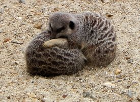 General Meerkat hug love  personalised online greeting card