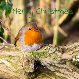 Christmas photography Christmas, Robin, birds, nature, wildlife, photo personalised online greeting card
