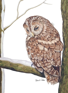 Tawny Owl watercolour