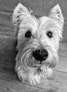 photography westie
