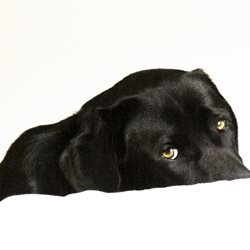 General Black Labrador, Buddy, Don't go, who me, sad eyes, watching you,  personalised online greeting card