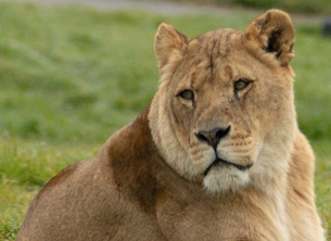Photography ^Lion,^, ^Africa^, Lion, cat, animal, wildlife, photography  personalised online greeting card