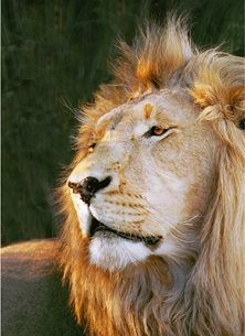 Photograpahy  greeting cards by Helen Jobson Photographer africa; african; animal; carnivore; cat; dangerous; eyes; face; feline; ferocious; fur; hair; hunter; intense; leo; lion; magnificent; majestic; male; mammal; mane; natural; nature; panthera; portrait; predator; roar; safari; south; wild; wilderness; wildlife; water; african wildlife, Portrait of a Lion peering into the distance