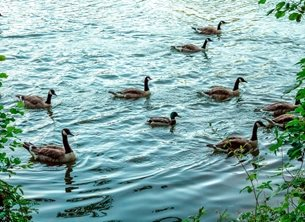 Photography UoR University Reading whiteknights lake campus water geese ducks goose birds landscape waterscape blue grey green waves reflections lakeside for-him for-her for-child personalised online greeting card