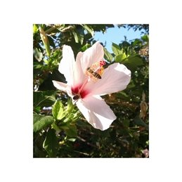 Photography bees flowers gardens hibiscus personalised online greeting card