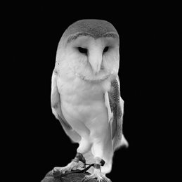Photography Barn Owl, Bird, nature, wildlife, Black and white, birds, photography , birthday, general, owl, eye, feather, animal, nature, beak, portrait, looking, cute, falconry, zoo, animal wildlife, bird of prey, animal themes personalised online greeting card