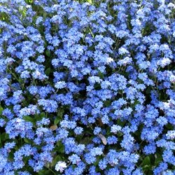 Photography forget-me-nots myositis flowers plants blue leaving emigrating for-her for-him personalised online greeting card