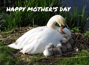 Mothers swans pen cygnets babies mothers for-her personalised online greeting card