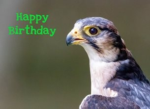 O Scrimshaw Photography Falcon Birthday  Birthday birds Lanner Falcon, bird, nature, wildlife photography personalised online greeting card