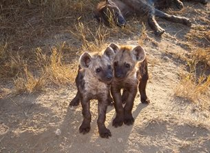 Helen Jobson Photographer Two Hyena Cubs with Mum Photography Adolescent,Africa; African; Animal; Baby; Backlit; carnivore; Crocuta crocuta; Cub; Cute; Evening; Fauna; Feliformia; Hayena; hyaenas; Hyaenidae; Hyena Cub; Hyena; Light; Mammal; Nature; Playing; Portrait; Predator; Scavenger; Spotted Hyena; Watching; Wildlife; Young, baby, personalised online greeting card