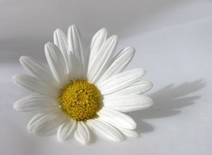 Carole Irving Art and Photography Purity Photography General white daisy background flower pure peace  personalised online greeting card