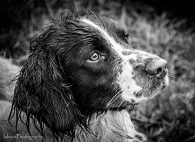 General  greeting cards by Countryside Cards Dogs, Pooch, Spaniels, springer's, working dogs, gun dogs, hunting, shooting, field trials, black and white Moss
