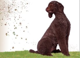 General dog, standard poodle, brown,  personalised online greeting card
