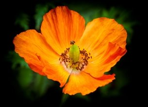 photography flower, flowers, flowering, poppy, poppy flower, orange, oranges, orange poppy, petal, petals, garden. floral, flora, poppies, orange poppies, petal, petals,  personalised online greeting card