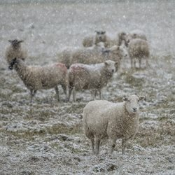 General sheep. snow. winter, herd, animal, goat, countryside personalised online greeting card