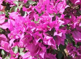 general bougainvillea flowers hot pink fuschia gardening tropical personalised online greeting card