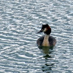 Debbie Daylights Great Crested Grebe Photography great crested grebes birds ducks water rivers canals Norfolk broads for-her for-him personalised online greeting card