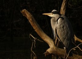 Photography Heron, Bird,  personalised online greeting card
