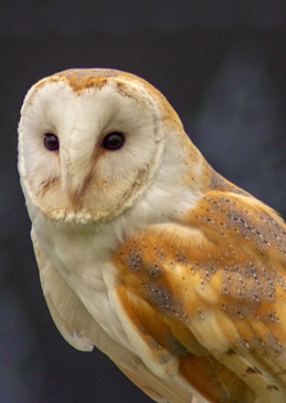 Photography Photography, Barn Owl, Charlie, bird, bird of prey, Falconry,  personalised online greeting card