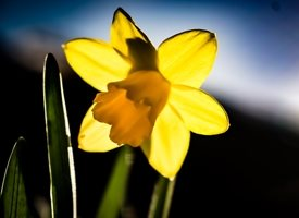 General flower, daffodil, yellow, nature, garden, photography, norbury, Easter, for-him, for-her, personalised online greeting card
