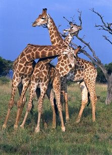 Photography  greeting cards by Helen Jobson Photographer girafe, africa, neck, girafe, animal, long, wild, tall, mammal, spot, nature, nose, tongue, safari, ears, spots, eye, fur, nature, giraffes, african, savanna, wilderness, tree, wildlife, young, baby, offspring, mother, conservation, african decent, game, game reserve, south africa, 3 Young Male Giraffe Necking