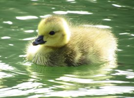 photography  Cute chick duck Fluffy  z%a personalised online greeting card