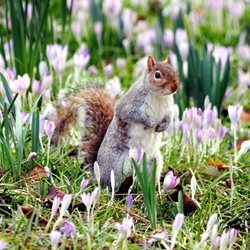 Photography squirrels grey animals crocus purple flowers plants winter spring wildlife rescue Carshalton grove park Surrey for-child for-her for-him personalised online greeting card