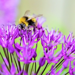 Allium bee