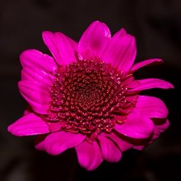 General Photography Flower, chrysanthemum, red, purple, black personalised online greeting card