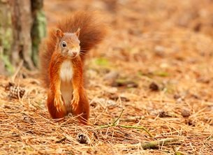 Photography red, reds, squirrel, Formby, Point, Formby Point, wild, nature, life, wildlife, personalised online greeting card