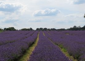 Photography Carshalton lavender fields Surrey blue purple sky clouds flowers plants for-her for-him personalised online greeting card