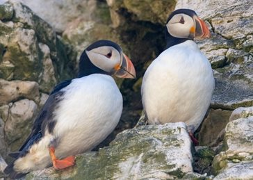 Art Seabirds,  birds, puffin, nature, wildlife, sea, cliff, coast, pair,  photography  personalised online greeting card