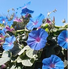 Photography flowers blue Morning Glory  personalised online greeting card