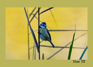 Photography Blue Tit, bird, nature, wildlife personalised online greeting card