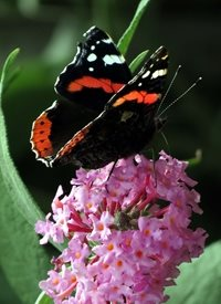 Photography red admiral butterfly insect purple pink flower summer z%a personalised online greeting card