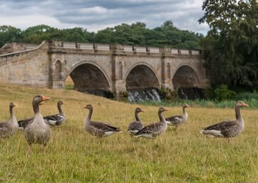 Photography Geese, goose, bridge, kedleston, river, landsacape, wildlife personalised online greeting card