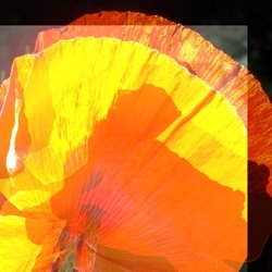 Art yellow orange greeting flower poppy abstract  personalised online greeting card