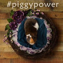 EJ Lazenby Fine Art #piggypower General pig guinea pig piggy rodent cute nest animal personalised online greeting card