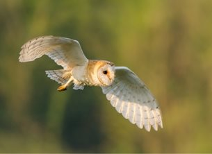 Chappers Photography Barn Owl photography Barn, owl, bird, wildlife, nature personalised online greeting card