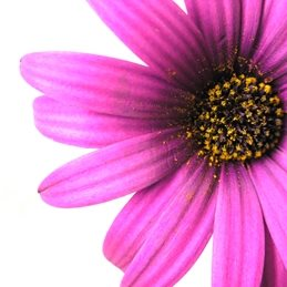 general pink daisy pollen centre detail personalised online greeting card