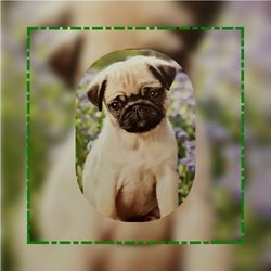 Animal welfare auctions Pug General Animals personalised online greeting card