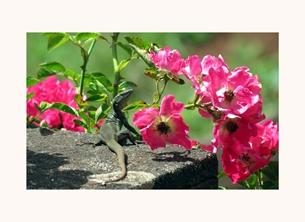 photography geckos lizards reptiles animals tails Madeira walls roses pink flowers personalised online greeting card