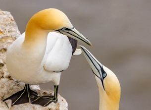 Photography ^gannet^, ^seabird^ personalised online greeting card