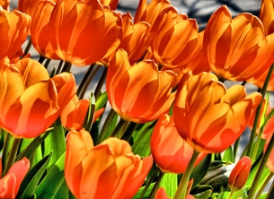 General tulips flowers orange photography personalised online greeting card