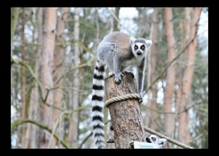 Photography Ring-Tailed 