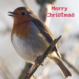 O Scrimshaw Photography Christmas Robin 1 Christmas CHRISTMAS, Robins, birds, nature, redbreast, wildlife, photography  personalised online greeting card