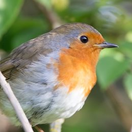 Photography Robins, birds, wildlife, nature, Christmas,  personalised online greeting card