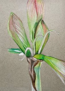 art Amaryllis bulb drawing crayon study spring birthday general personalised online greeting card