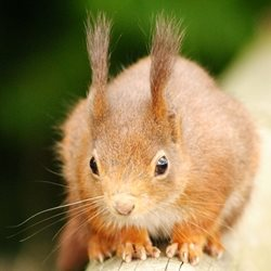 Debbie Daylights Red squirrel Photography red squirrels animals mammals wildlife ears whiskers for-child for-her for-him personalised online greeting card