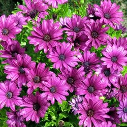 General Flower, plant, osteospermum, purple personalised online greeting card